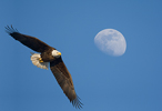 Bald Eagle Adult with Moon