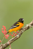 Baltimore Oriole Male with Red Flowers