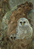 Barred Owl Chicks at Nest Cavity