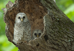 Barred Owl (Strix varia) young in nest cavity