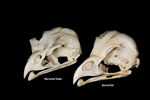 Barred-Owl-and-Red-tailed-Hawk-skull-comparison