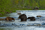 Black Bear (Ursus americanus) mother and two cubs crossing river