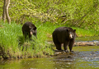 Black Bear mother and cub at river