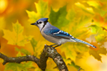 Blue Jay Fall Colors