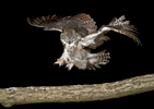 Great Horned Owl Landing on Branch at Night