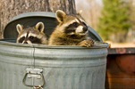 Northern Raccoon Pair in Garbage Can