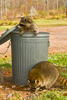 Northern Raccoon in Garbage Can