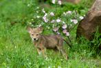 Coyote Canis latrans, young with roses