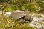Gopher Tortoise, Gopherus polyphemus