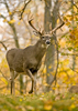 White-tailed Buck in Fall Colors