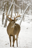 White-tailed Buck in Snow