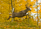 White-tailed Buck Jumping in Fall Colors